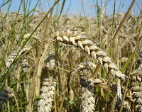 Photograph of Spring Bread Wheat
