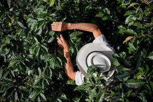 Photo - A farmer in Colombia's Nariño Department checks his coffee bushes. Neil Palmer CIAT photos